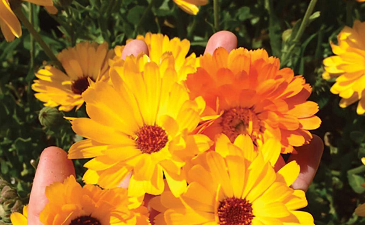cultivo primavera calendula