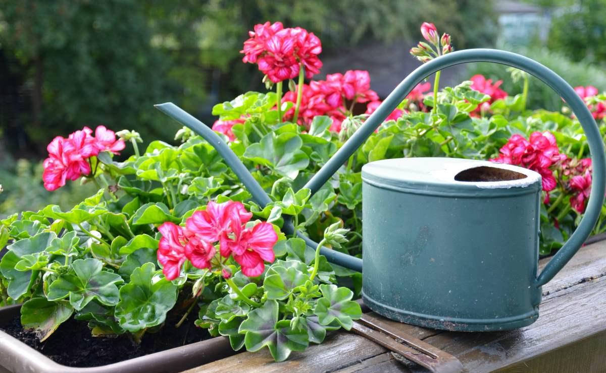 cultivo primavera geranios