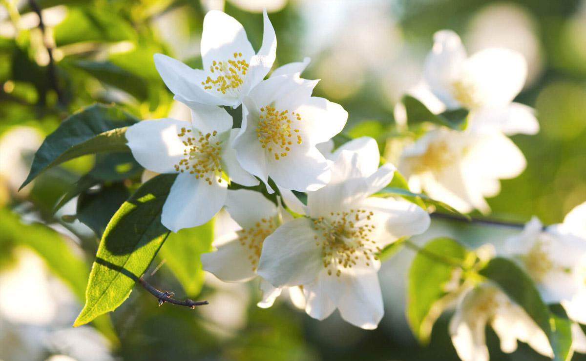 cultivo primavera jazmin