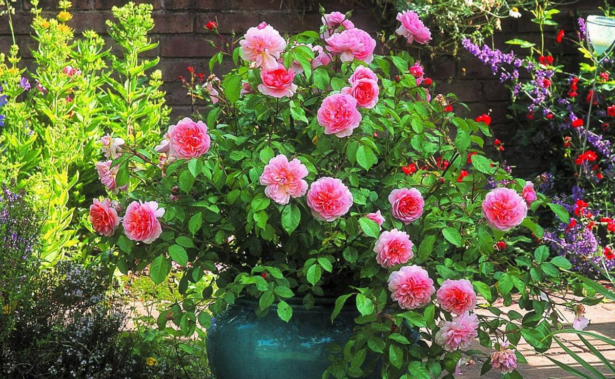 cultivo primavera rosas